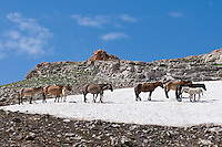 Wild Horses or feral horses (Equus ferus caballus) keeping cool and away from biting flies on late melting summer snowbank.  Western U.S., summer.