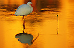 White ibis wades in water at the Ding Darling National Wildlife Refuge.