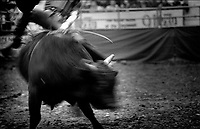 Black & white image of a rodeo - Twisting bucking bull. United States Rodeo.