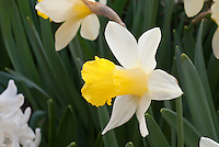 Narcissus Topolino (AGM) Division 1 spring flowering bulb daffodil, yellow corona with white petals in bloom, dwarf daffodil
