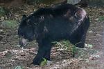 American black bear walking left lfull body view.