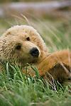 Portrait of a Brown Bear, Katmai National Park, Alaska