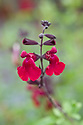 Salvia x jamensis 'Red Velvet', mid August. A hybrid between S. greggii and S. microphylla with deep red flowers and black calyces produced from July to November.