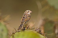 Clay-colored Sparrow, Spizella pallida, adult, Uvalde County, Hill Country, Texas, USA