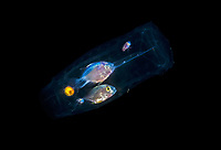 a pait of unidentified fish take shelter inside a salp or planktonic tunicate, photographed during a Blackwater drift dive in open ocean at 20-40 feet with bottom at 500 plus feet below, Palm Beach, Florida, USA, Atlantic Ocean