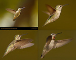 Anna's Hummingbird Female in Hovering Flight, Composite Flight Study, Southern California