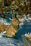 Bunny sits in the snow in South Dakota.