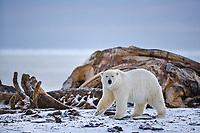 Polar bear at the Bowhead whale bone pile on Barter Island, Kaktovik, Alaska.