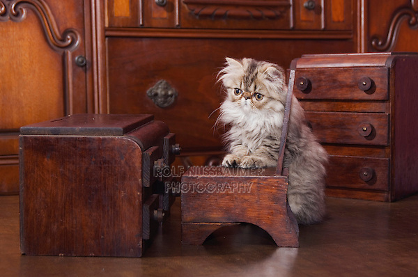 Persian Cat, Felis catus, Brown Tabby, Kitten with Doll furniture, Hill Country, Texas, USA
