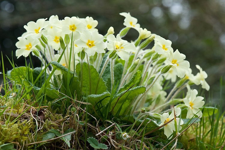 Wild primroses, (Primula vulgaris), early April.