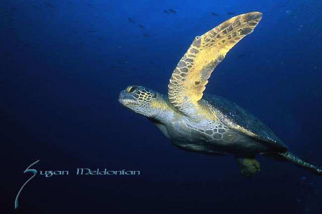 Hawksbill Turtle, Eretmochelys imbricata, Underwater Marine life Behavior, Blue Heron Bridge, Lake Worth Inlet, Riviera, Florida, USA, Intra Coastal Waterway, North Atlantic Ocean.