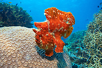 Red Giant Frogfish (Antennarius commersonii), Indonesia, Asia
