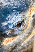 gray whale, Eschrichtius robustus, eye, gray whale lice, Cyamus scammoni, Baja California, Mexico, Pacific Ocean