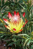 Protea repens (Sugarbush) flower detail