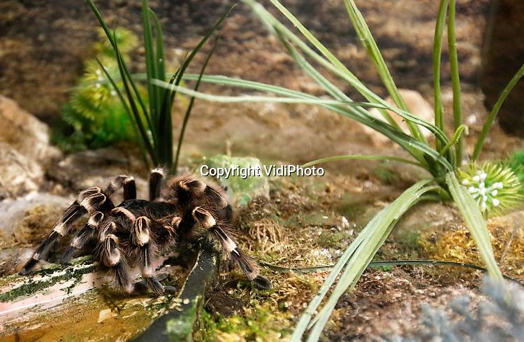 Foto: VidiPhoto<br /> <br /> VLISSINGEN – In reptielenzoo Iguana leven de meest wonderlijk reptielen en amfibieën. De meeste zijn door de douane of bij particulieren in beslag genomen. De Vlissingse reptielenopvang probeert waar mogelijk de dieren te herplaatsen in dierentuinen of weer terug te zetten in de natuur. Waar dat niet mogelijk is zorgt Iguana zelf voor opvang en zijn de dieren voor bezoekers te zien. Foto: Acanthoscurria geniculata - witknie vogelspin.