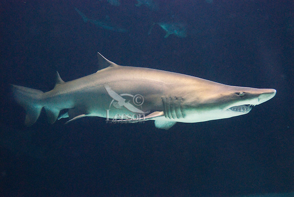 Sandtiger Shark or Sand Shark (Carcharias taurus or Eugomphodus taurus)--some disagreement over classification.