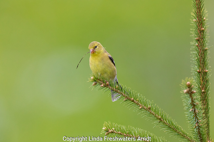 Female American goldfinch holding a pine needle in her beak.