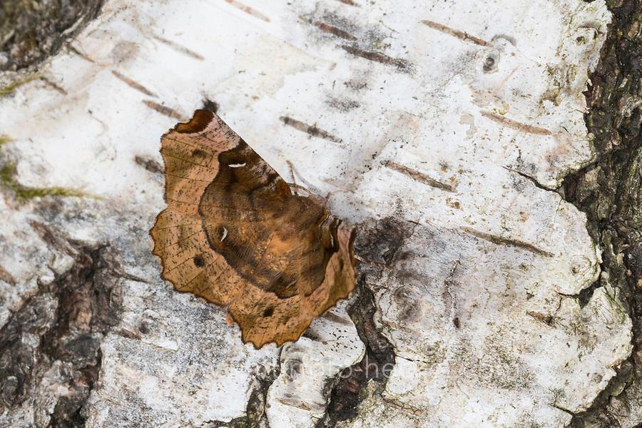 Violettbrauner Mondfleckspanner, Selenia tetralunaria, purple thorn, l'ennomos illustre. Spanner, Geometridae, looper, loopers, geometer moths, geometer moth