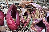 Skunk Cabbage flowers Symplocarpus foetidus in spring bloom
