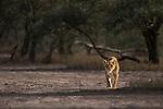 Female African Lion (Panthera leo) stalking prey at Big Marsh, near Ndutu, Nogorongoro Conservation Area / Serengeti National Park, Tanzania.