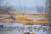 Ducks--mostly Northern Pintail & mallards--resting at Squaw Creek National Wildlife Refuge, Missouri.  November.  (This photo has the look and feel of many wetland National Wildlife Refuges.)