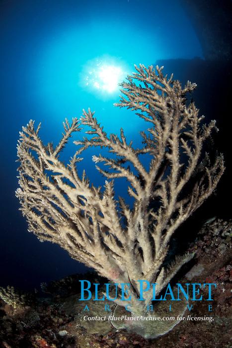Acropora sp., Red Sea