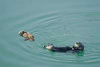 Sea Otter (Enhydra lutris) mom with young pup.