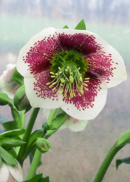 White & red flowers of Hellebore White Spotted Lady, green nectaries