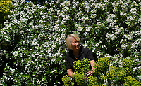 BNPS.co.uk (01202 558833)<br /> Pic: ZacharyCulpin/BNPS<br /> <br /> Blenheim in bloom...<br /> <br /> Head Gardener, Hilary Wood inspects the Euphorbias<br /> <br /> One of Britain's most historic stately homes is expecting a bumper year for its stunning roses with some already in full bloom.<br /> <br /> Blenheim Palace, the birthplace of Sir Winston Churchill, is currently closed to visitors due to the coronavirus pandemic so this might be the only chance to see some of their stunning floral displays.<br /> <br /> With a reduced team of gardeners tending to the formal gardens and 2,000 acres of Capability Brown-landscaped parkland, there is little time for staff to stop and smell the roses.<br /> <br /> But if they could there is a spectacular climbing rose called Dreaming Spires, which grows up the walls of the Palace's orangery, that is already in full bloom and its 'wonderwall' of wisteria is also looking incredible.
