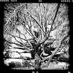 Tree, Southern California