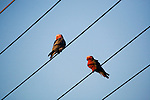 Galah (Eolophus roseicapilla) male and female on powerlines, Mount Taylor Nature Reserve, Canberra, Australian Capital Territory, Australia