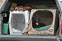 00975-015.01 Labrador Retriever: Black Lab is resting in dog box in back of truck.  Four rooster pheasants are diplayed.  Hunt, pickup.