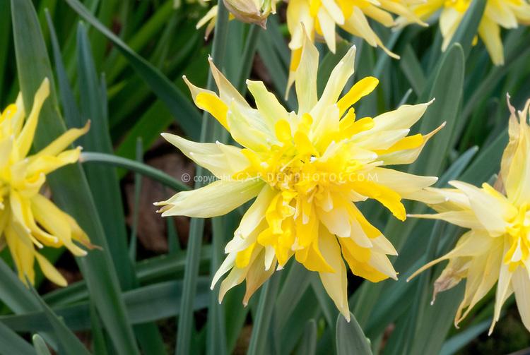 Daffodil Rip Van Winkle Narcissus, old fashioned double flowered, pumilis plenus, division 4, dwarf daffodil