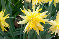 Daffodil Rip Van Winkle Narcissus, old fashioned double flowered, pumilis plenus, division 4, dwarf daffodil