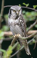 Sperbereule, Sperber-Eule, Surnia ulula, hawk owl, hawk-owl