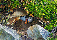 Atlantic Puffin (Fratercula arctica) in breeding plumage, summer, emerges from burrow. These North Atlantic seabirds come to land every year for about 4 months to breed and raise their young on grassy cliffs and offshore islands, here along the eastern coast of Newfoundland, Newfoundland and Labrador, Canada.