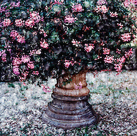 Pink geraniums overflow their pot in Italian garden. Visually exciting painting.<br /> <br /> -Limited Edition of 50 Prints