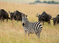 Grant's Zebra, Equus quagga boehmi, stands in front of a group of Wildebeest, Connochaetes taurinus, in Maasai Mara National Reserve, Kenya