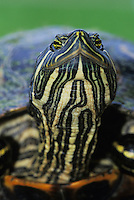 Red-eared Slider, Trachemys scripta elegans, adult, Lake Corpus Christi, Texas, USA, May 2003