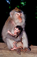 crab-eating macaque, Macaca fascicularis, aka long-tailed macaque, mother and baby, Bali, Indonesia