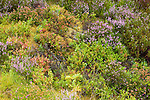 Heather (Calluna vulgaris) and Bilberry (Vaccinium myrtillus) in moorland, Scottish Highlands, Cairngorms National Park, Scotland, United Kingdom