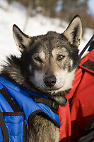 Trent Herbst's dog *Griz* rests in the sled bag in the sun in Koyuk on Friday during Iditarod 2008