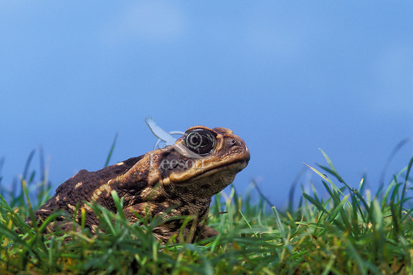 CANE TOAD aka MARINE TOAD..Extreme Southern Texas and introduced into Florida..(Bufo marinus).