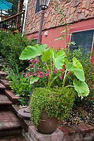 Colocasia Elephant ears as big foliage specimen plant in pot container, lamp post, brick steps walkway, house. Tropical tender summer bulb. Annuals Nicotiana flowering tobacco, shrubs