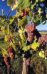 Austria, Lower Austria, Wachau, Furth near Goettweig, grape-vine