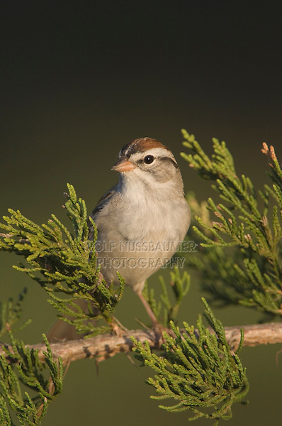 Chipping Sparrow, Spizella passerina, adult on Mountain Cedar (Juniperus ashei), Uvalde County, Hill Country, Texas, USA, April 2006