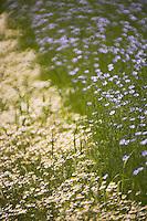 Europe/France/Haute-Normandie/76/Seine Maritime/Env Le Havre: Champ cultivé de lin en fleur et marguerites