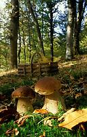 Europe/France/Limousin/87/Haute Vienne/Plateau de Millevaches aux env. de Nedde: Cèpes en forêt