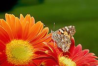 Painted lady butterfly, Vanessa cardui, in profile on orange Gerbera daisies, Asteraceae, Missouri, USA