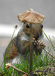 I'll eat my hat. A squirrel puts on his best mushroom cap by Barry Peck